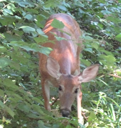 Deer A Foot From Our Putnam House Deck